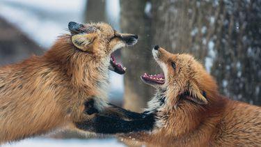 Ruzie over geldzaken. Twee vossen in gevecht