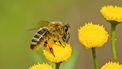 Een bij die op een bloem zit een een bijensteek kan geven